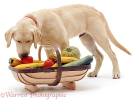 Labrador with basket of fruit