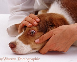 Examining the eye of a Border Collie pup