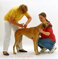 Chiropractor working on lurcher