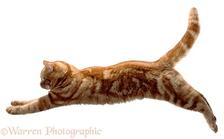 Ginger cat leaping