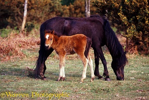 New Forest pony and foal