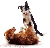 Border Collies arguing
