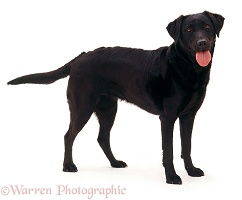 Black Labrador bitch