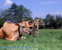 Jersey cow and calf