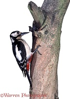 Great-spotted Woodpecker perched