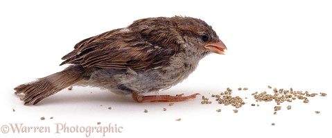 Fledgling House Sparrow