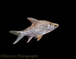 Yellow-finned Barb