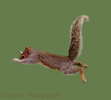 Grey Squirrel leaping