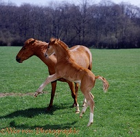 Pony foal playing with his mother