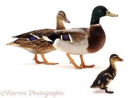 Mallard duck, drake and duckling