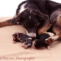 Mother Border Collie with newborn pups