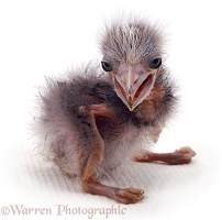Night Heron chick