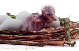 Night Heron chick in a nest