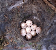 Great Tit nest with eggs
