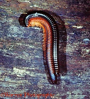 Giant Millipedes mating