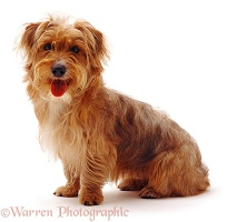 Yorkshire Terrier-cross dog