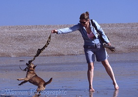 Terrier-cross leaping for seaweed