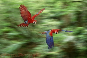 Green-winged Macaws flying