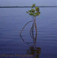 Mangrove standing in water