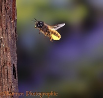 Mason Bee carrying pollen