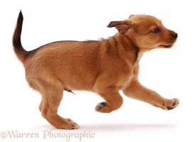Brown puppy running