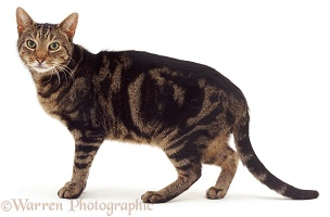 Thin elderly tabby cat