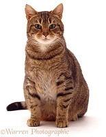 Striped tabby cat sitting