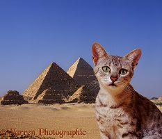 Egyptian Mau cat with pyramids