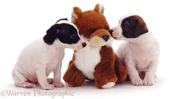 Jack Russell pups with toy fox