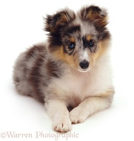 Shelty pup