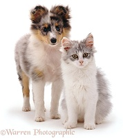 Shelty pup with kitten