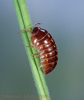 Pill Woodlouse climbing on grass