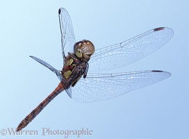 Darter dragonfly in flight