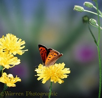 Small Copper on hawkweed