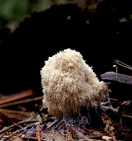 Slime mould on dead wood
