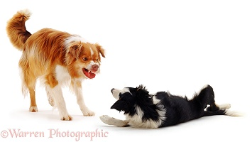 Border Collie dog snarling