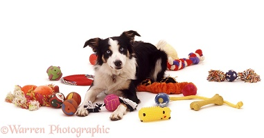 Border Collie with toys