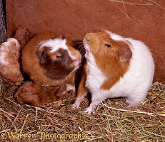 Guinea pigs fighting