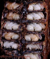 Honey Bee pupae in cells