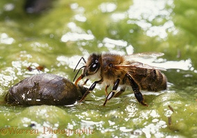 Honey Bee drinking