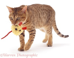 Bengal cat with toy mouse
