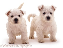 Playful Westie pups