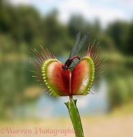 Venus' Flytrap with damselfly