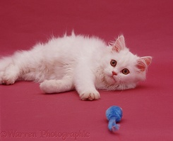 White Persian cat on pink