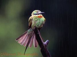 Little Bee-eater rainbathing
