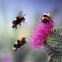 Bumblebees and spear thistle