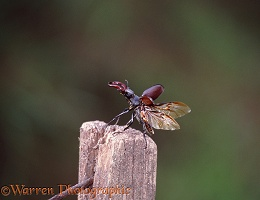 Stag Beetle take off