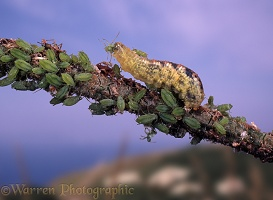 Hoverfly larva eating aphids