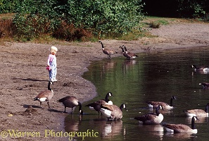 Siena and Canada geese