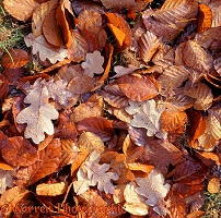 Fallen beech and oak leaves